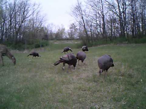 Turkeys & Deer Feeding together on Food Plot !!!!