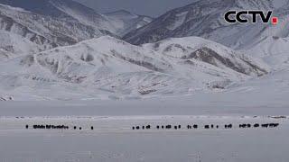 甘肃阿克塞:哈尔腾草原再现野牦牛群  《中国新闻》CCTV中文国际 - YouTube