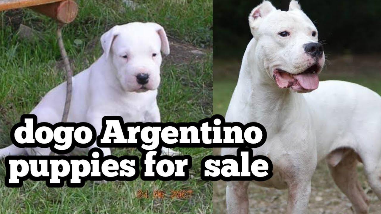 dog: Dogo Argentino Puppy Price In Delhi
