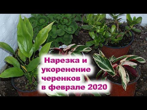 Нарезка и укоренение черенков в феврале 2020 года Пришла пора для укоренения черенков садовых рас..