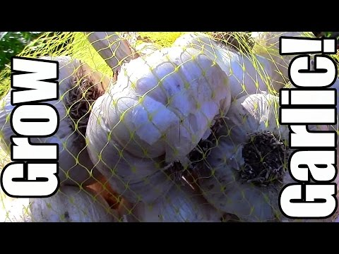 Growing Organic Garlic on the Cheap! (Frugal Gardening)