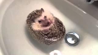 Маленький ежик принимает ванну, очень интересно смотрите
