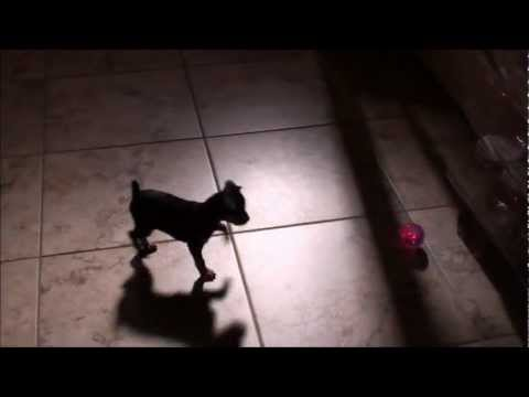 CUTE Puppy Chases Light Up Ball