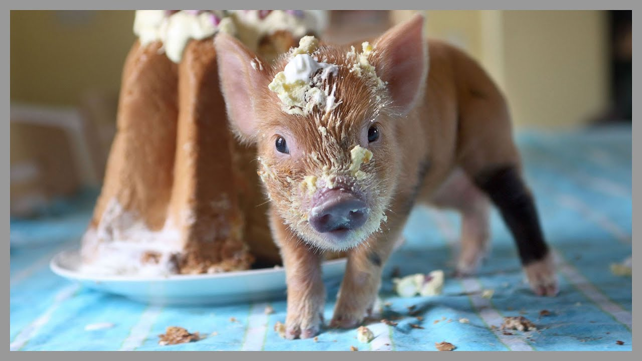 Cute Piglets Wallpaper Adorable Teacup Pigs 50 Teacup Pigs That Will Make You