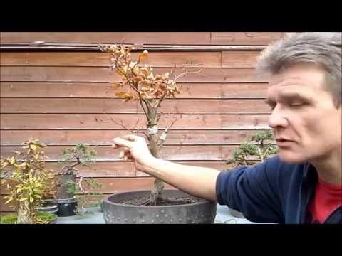 Fagus Sylvatica Bonsai 2: wiring and shaping