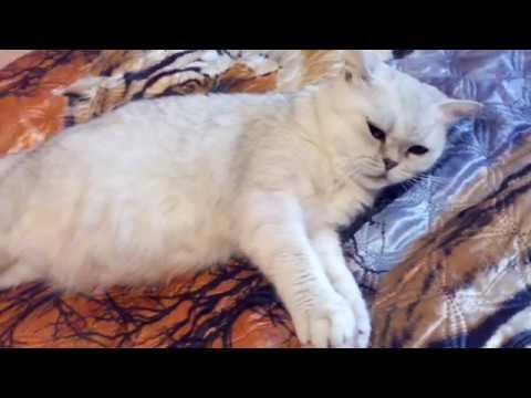 Календарь беременности кошек рассчитать
