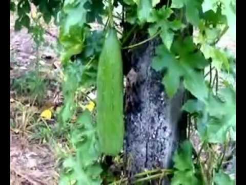 Bucha vegetal youtube - Esponja natural vegetal ...