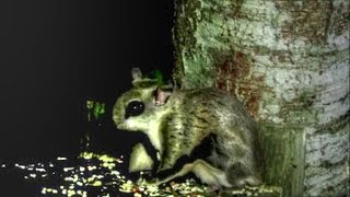 Flying Squirrel - Tiny Ghost Of The Forest!