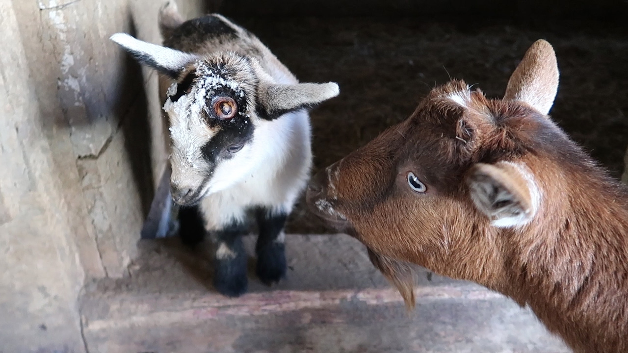 Why We Are Disbudding Our Goat Kids