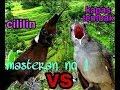 Cililin Vs Kapas Tembak Masteran Burung Berkualitas  Mp3 - Mp4 Download