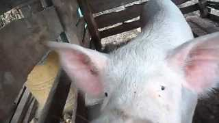 разведение свиней +в домашних условиях 4 недели после опороса(Разведение свиней +как бизнес видео.В этом видео хотел показать как похудала свиноматка через 4 недели корм..., 2015-11-26T20:14:45.000Z)