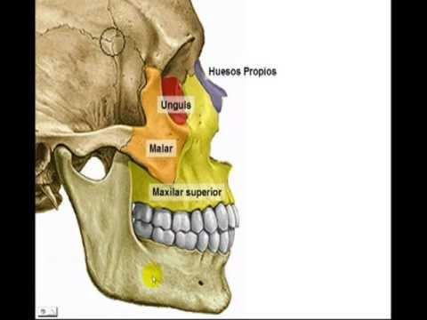 Huesos de la cara youtube - Rodillo para lacar ...