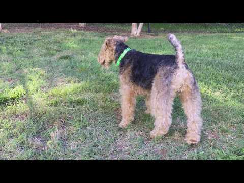 Welsh Terrier Buckley Off Leash @ Dog Park