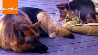 Amazing German Shepard Lovingly Cares For Adopted New Puppy (storyful, Dogs)