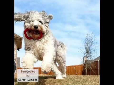 Safari's Bordoodles// Border Collie + Poodle blend. Smartest non-shed dog in the world