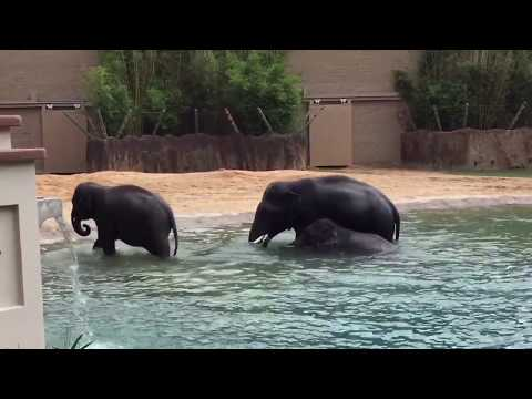 Asian Elephants swimming at the zoo and a Giraffe ate my lettuce!!!