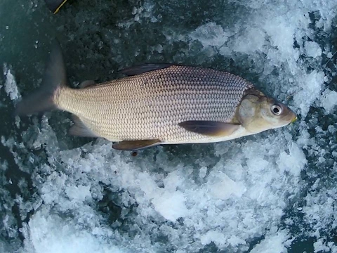 How to catch Lake Whitefish - Underwater Action Shots