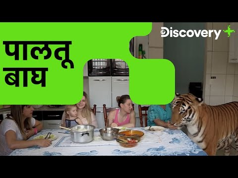 पालतू बाघ | Preposterous Pets - Living With Tigers | Dangerous Pet Animals | Discovery Plus
