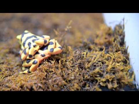 Saving Panamanian Golden Frogs