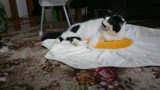 犬が気に入っている目玉焼きブランケットの上で猫がくつろいでいます。...