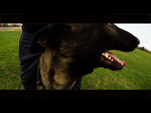 Belgian Malinois Dog Training with French Commands Demonstration