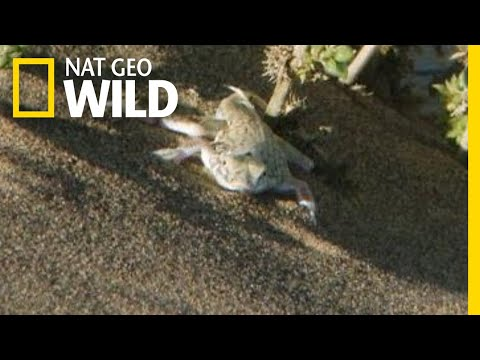 Snake v. Lizard: A Desert Showdown | Nat Geo Wild