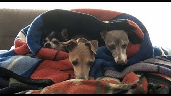 My Dogs Enjoying Blankets (and Other Warm Things)
