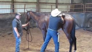 Race horse starting gate problems caused from pain
