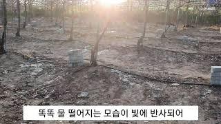 [포도밭농막집] 포도나무물주기 가을무 무청말리기