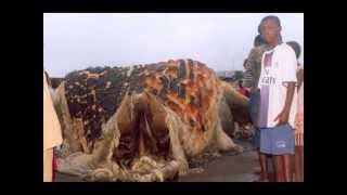 самая большая черепаха the biggest turtle in the world