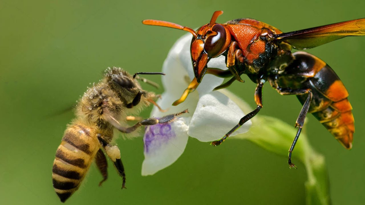 Bees kill a giant Hornet with heat