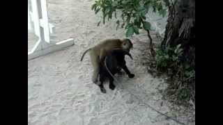Monkey tries to have sex with dog   YouTube