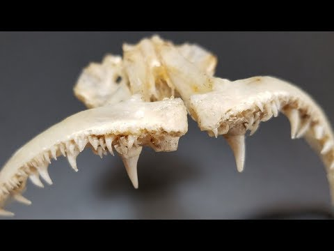 How To Save Fish Jaws With ANTS | Mount Your Own Trophy Fish Mouth