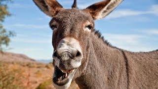 Funny Jokes - The Old Texas Donkey Switcharoo...