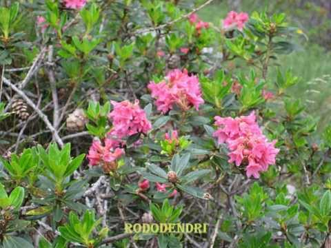 fiori di montagna .... di giovanna - YouTube