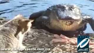Gato VS Cocodrilo - La pelea por la comida