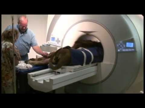 Lion Visits Msu Veterinary Teaching Hospital For Mri Youtube