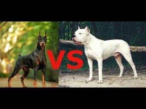 Доберман против Аргентинского Дога какая собака круче???