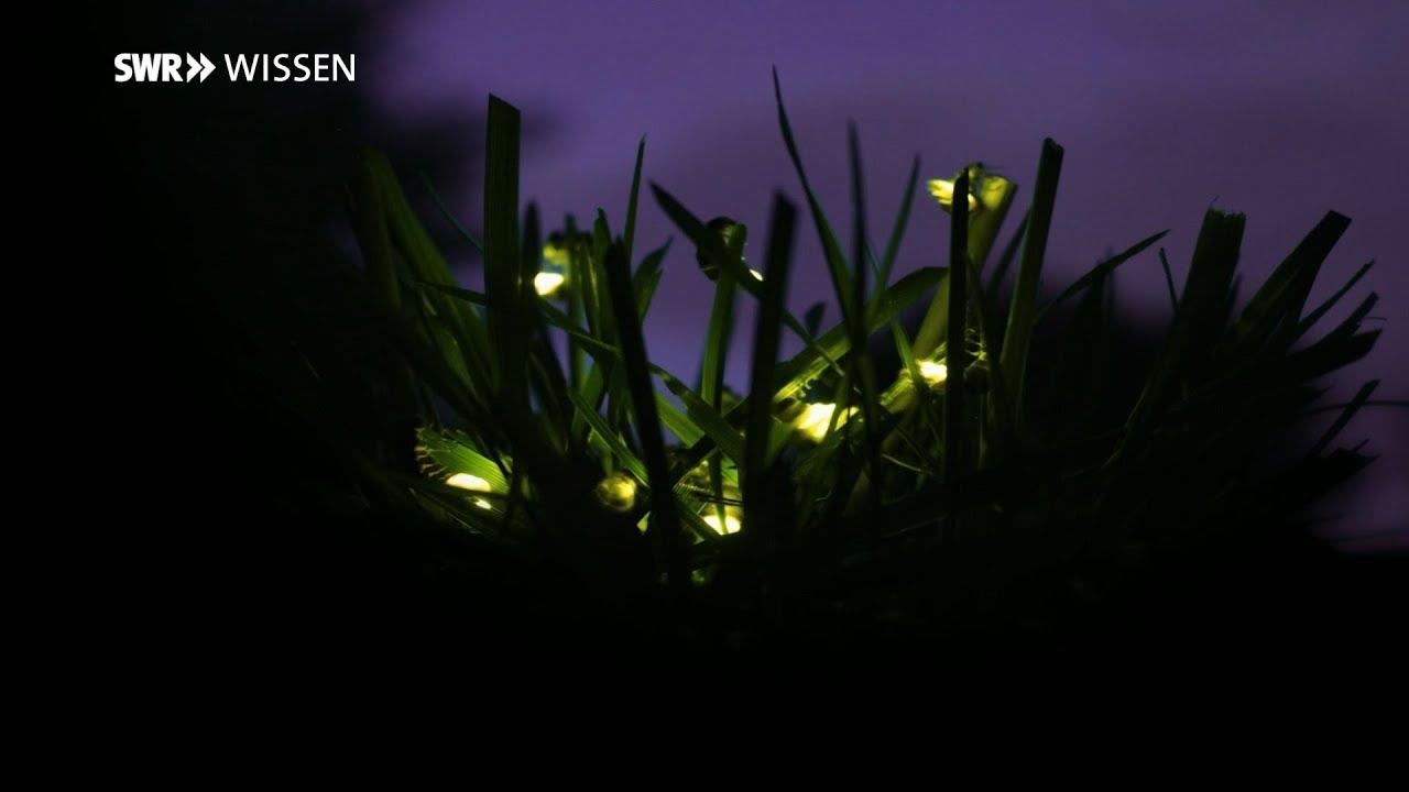 Glühwürmchen In Deutschland