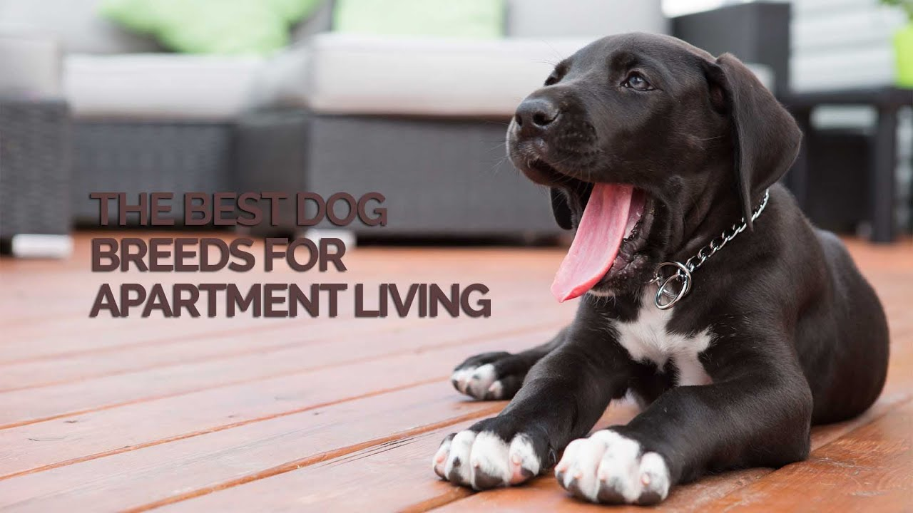 the best dog breeds for apartment living youtube