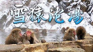 山長水遠去長野睇雪猿浸温泉, 點知比佢地打! 地獄谷野猿公苑Onsen Snow ...