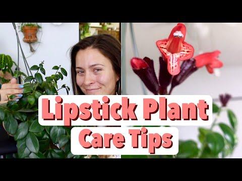 Lipstick Plant Care Tips Tricks Lipstick Aeschynanthus