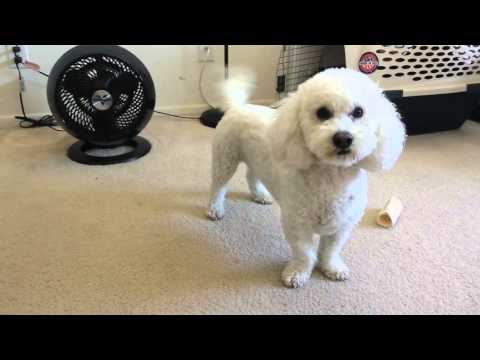 Cute Bichon Puppy Fetches Toys by Name  Smart Dog