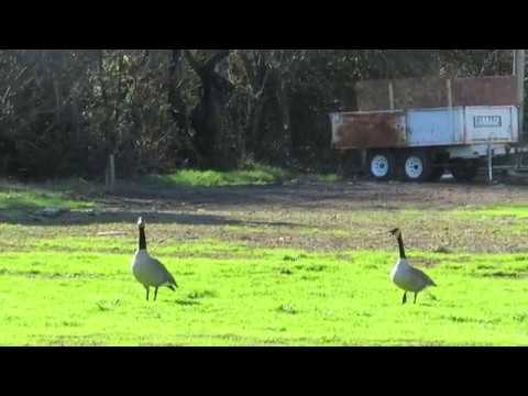 Birds in flight and two loud Canada geese - Skyline Wilderness Park - Napa, California