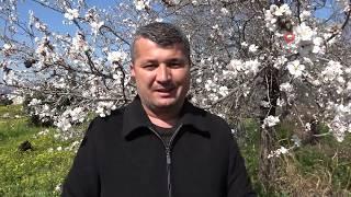 Çiçek Açan Badem Ağaçları Baharı Müjdeledi