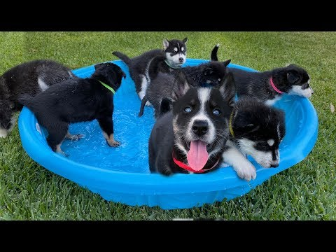1 Month Old Puppies go Swimming for the First Time!