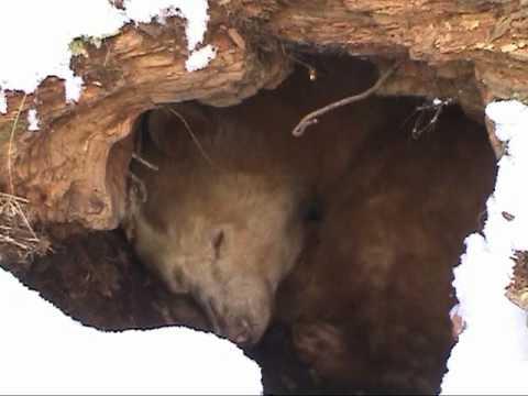spirit bear hibernating in his winter den youtube. Black Bedroom Furniture Sets. Home Design Ideas