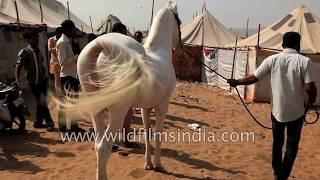 Breeding Marwari Horses In India - Stallion Covers Mare
