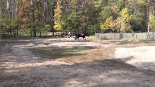 Продажа Фризской лошади