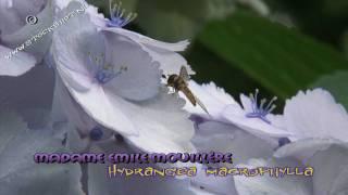 Hydrangea macrophylla madame emile mouillère - hortensia HD stockshots broadcast format available at: http://www.stockshot.nl/ -  hortensia - tuinhortensia -- hydrangea - Hortensien - Hortenzie - Hortensiasläktet - ortensie Familie: Hydrangeaceae Madame emile mouillère is een prachtige witte bolbloemige Hydrangea. Het is een oude cultivar uit 1909, die vanaf het begin beroemd is om haar rijke bloei.  Hydrangea macrophylla madame emile mouillère is een struik die zo'n 1,50 meter hoog kan worden.